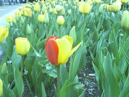 tulip single red petal