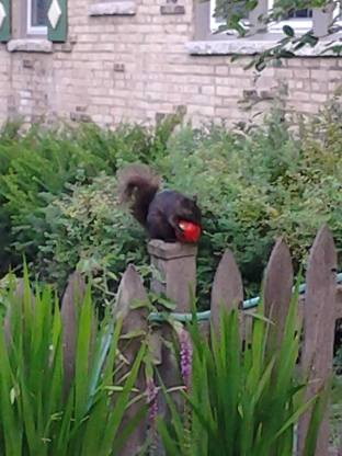 A neighborhood squirrel stealing someone else's tomatoes.