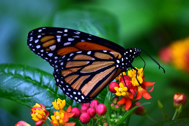 monarch-3237830_640