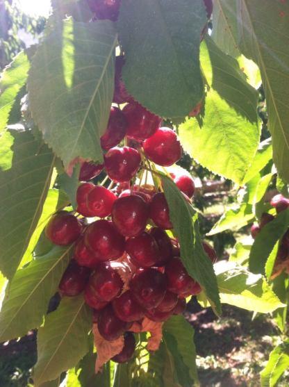 Chelan Fresh Cherry Tour