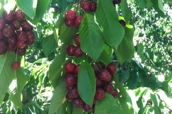 bing cherries on tree