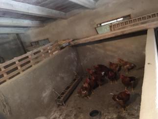 Pepa's chickens