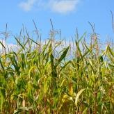 corn-3665250_640