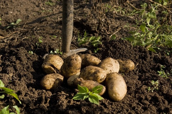 potato-1925975_640