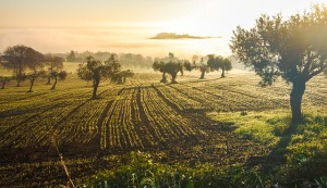olive-grove-3453760_640