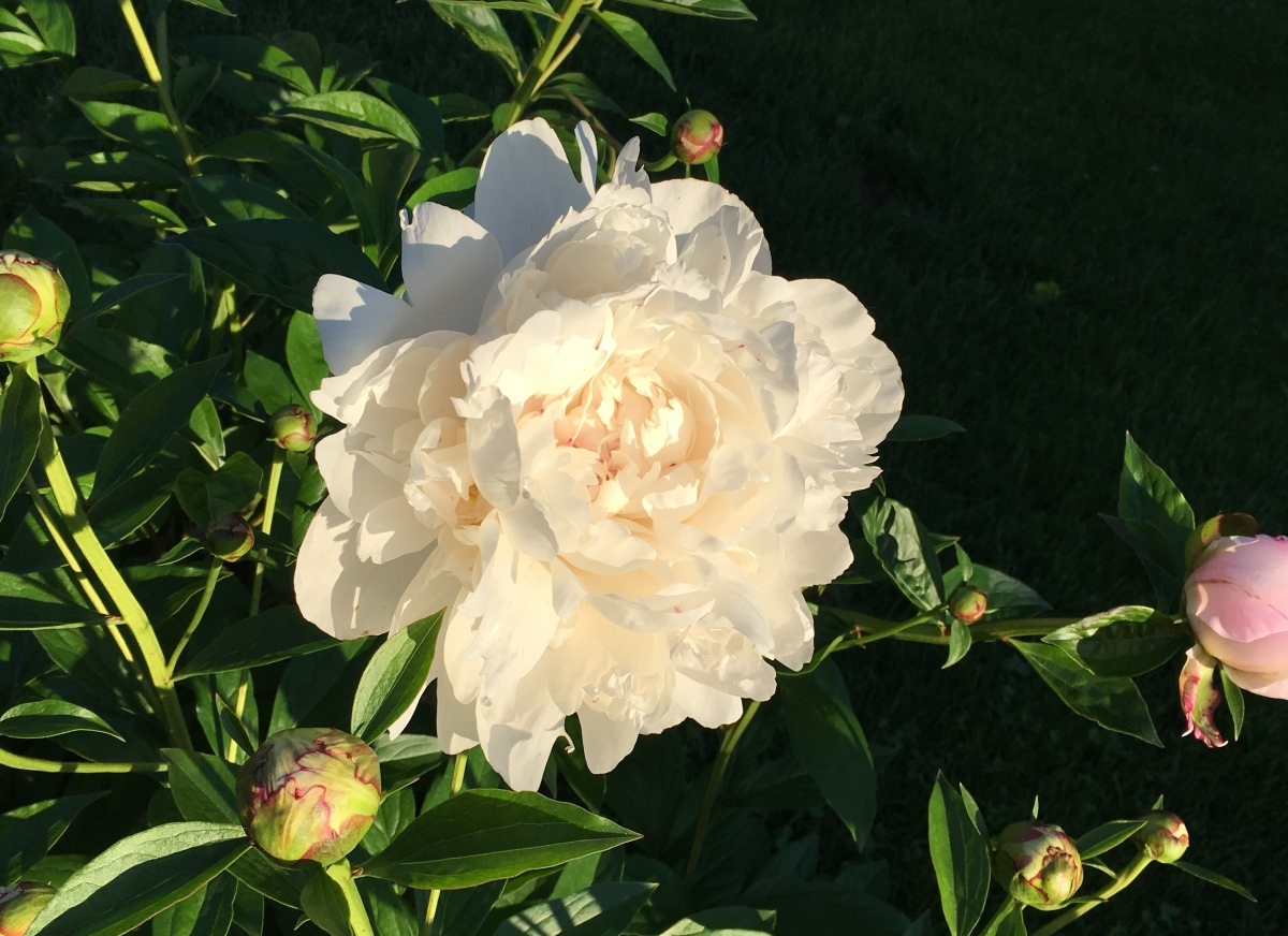 midwestern peony garden