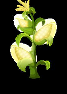 yellow corn stalk