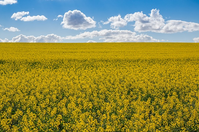 yellow canola flowers in field